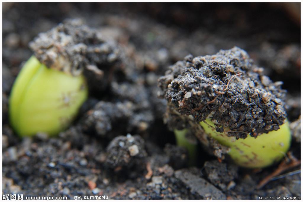 请问 黄豆种子发芽时子叶会张到土上面成为叶 对不对.